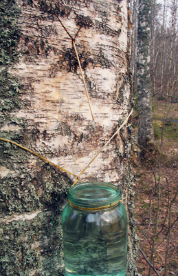 Collection of birch sap. Photo: R adept (CC BY-SA)