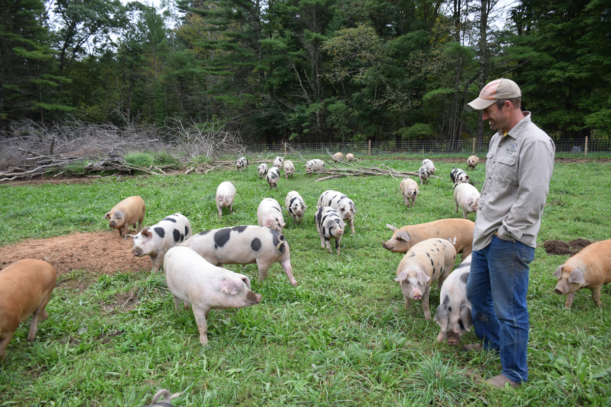 A farmer on a fenced-in paddock sorrounded by pigs on green grass.