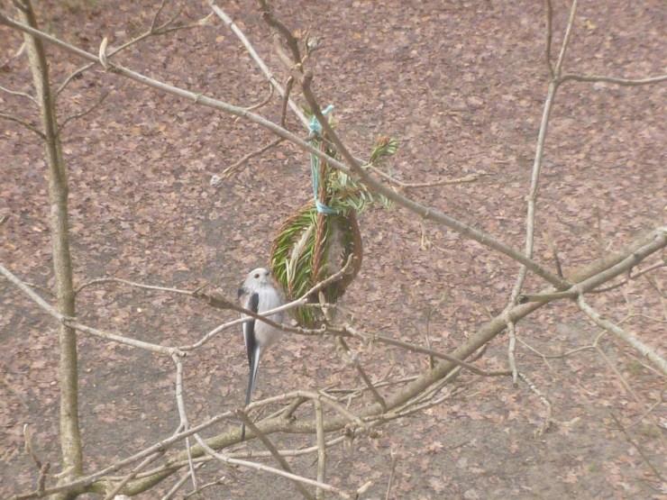 Schwanzmeise frisst Vogelfutter