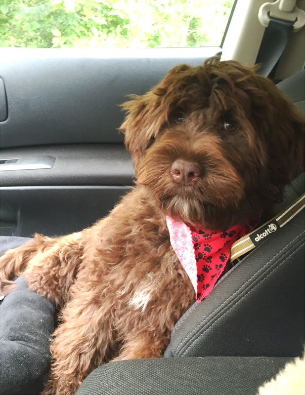 Portuguese Water Dog Brown And White : portuguese, water, brown, white, Portuguese, Water, WALDFRIEDEN
