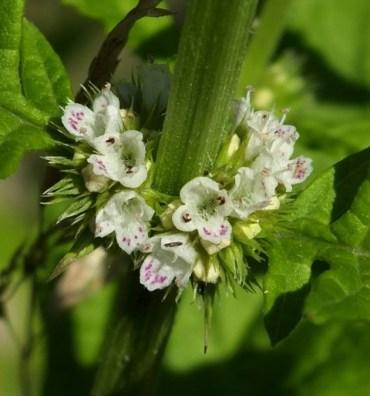 Blüte Wolfstrapp 2