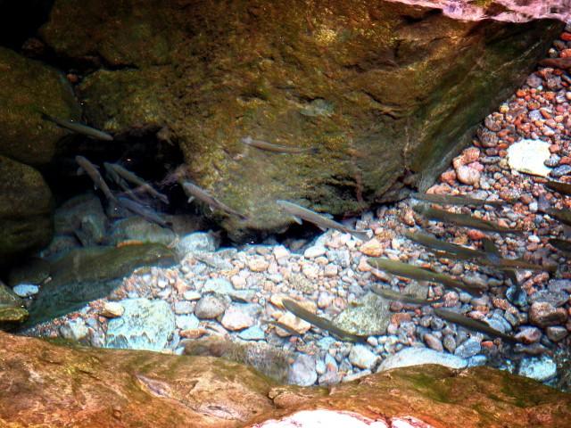 Forellen in der Rosmarin-Levada | Waldspaziergang.org