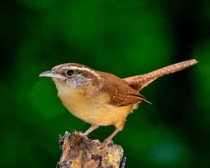 Der Zaunkönig gehört zu den Standvögeln, das sind Vögel, die hier bleiben.