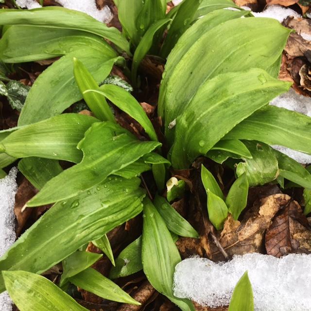 Essbare Pflanzen im Frühling