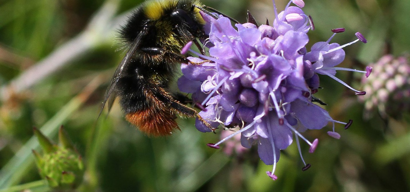 bombus-lapidarius-at-st-govans-head