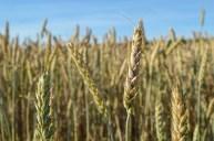 Delaware wheat