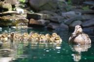 A mallard duck successfully raised an even dozen in our pond
