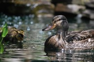 mallard duck in pond