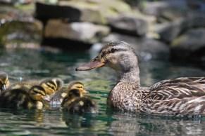 mamma mallard and new ducklings