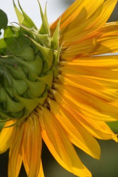 sunflower rearview