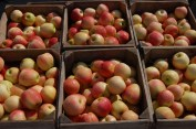 Just picked apples