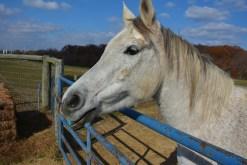 Horse at fense