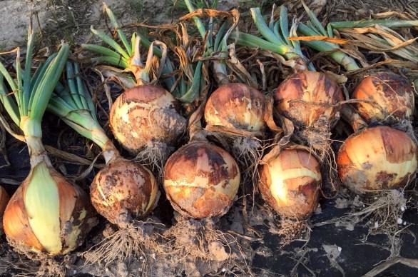 intermediate day onions