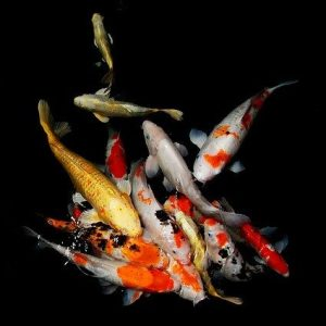 Koi Fish Pond Vision Panels Walk On Glass Well Cover Specialists