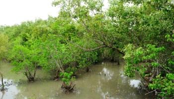 Mangrove in Koh Kong, Cambodia