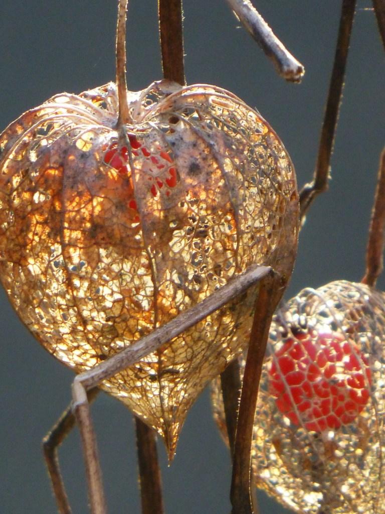 Chinese lantern plant pod