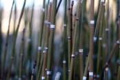 snakegrass