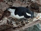 Chinstrap Penguin (Pygoscelis antarcticus) on the nest
