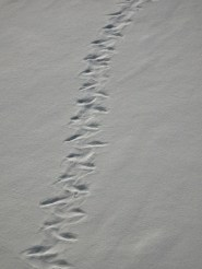 Leopard Seal tracks in the snow