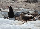 A skua stalking a Gentoo Penguin nesting colony