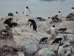Lone Adelie Penguin amidst many Gentoos