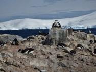 Gentoo Penguin and Antarctic Shag nesting colony