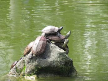 Turtle in Kameido Shrine