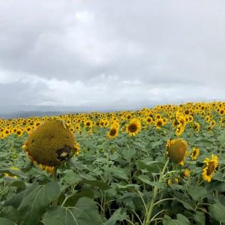Sunflowers in Akeno-cho
