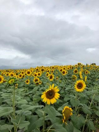 Sun Flowers in Akeno-cho