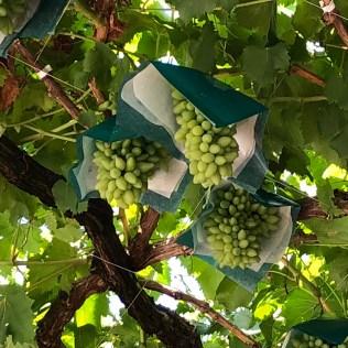 Grapes in Katsunuma City