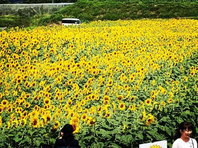 Sunflower Field in Akeno-cho, Yamanashi