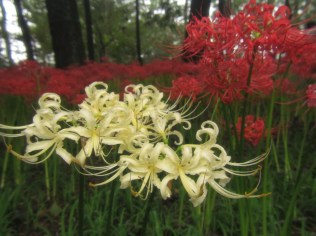 Red Spider Lilies in Kinchakuda