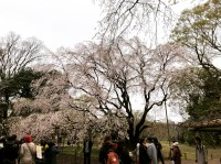 A Weeping Cherry