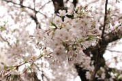 Meagre River Cherry Blossoms