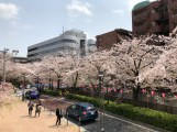 A view from Shashi Junction - Cherry blossoms along the Meguro River