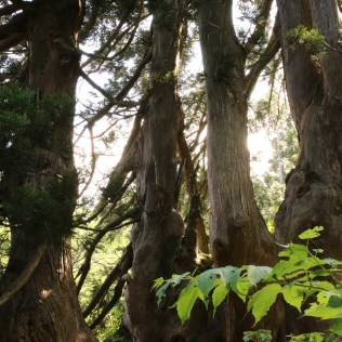 "This group of cedars is called ""Family Cedars""."