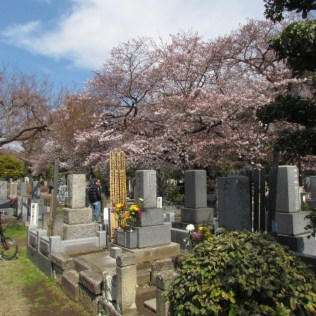 flower viewing in Somei Cemetery