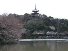 Cherry Blossoms in Sankeien Gardens