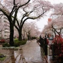 cherry blossoms avenue
