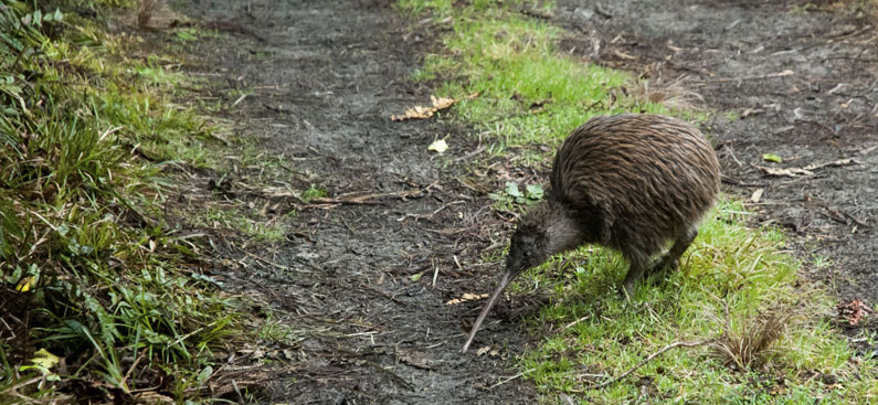 Predator Free Waiheke gets underway