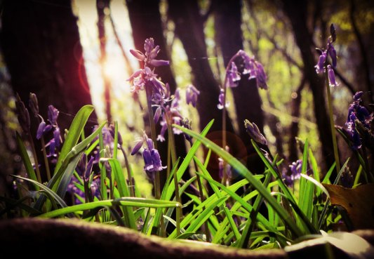 Bluebells at Knockatrina Wood Durrow