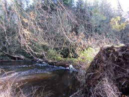 Uprooted by Storm Barney - Dunmore Wood.