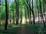 Caponnellan Wood, Durrow - Bluebell Walk.