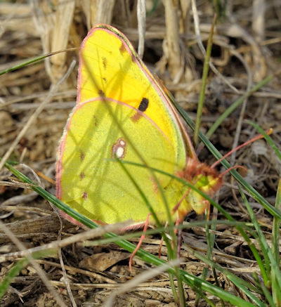 clouded_yellow_butterfly