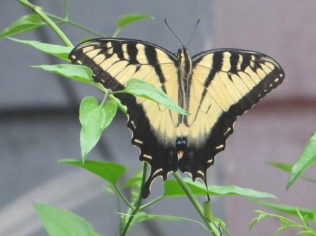 Swallowtail_yellow