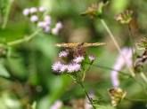 pearl-crescent-on-mist-flower2
