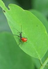wheel-bug-nymph