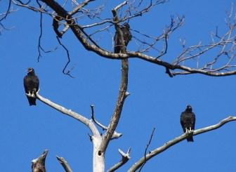 black-vulture4