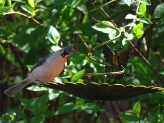 Tufted titmouse4