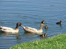 duck family2